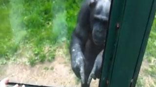 聪明黑猩猩使用手势