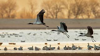 四川:黑颈鹤越冬迁徙停留