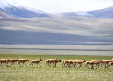 藏羚羊开启一年一度的迁徙产仔之旅