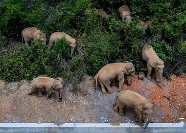 云南北迁亚洲象群持续小范围迂回活动